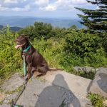 photo of a dog with a backpacking dog collar on Mount Greylock, MA