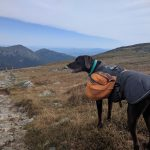 Photo of a chocolate lab dog hiking the appalachian trail in the white mountains, new hampshire
