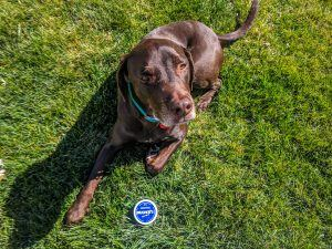 Photo of a chocolate lab dog in the grass with mushers secret paw rub wax